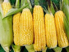 EFSA:转基因玉米与常规玉米同等安全