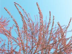 22400g能量�蚂蚁森林上线新树种^红柳 ̄
